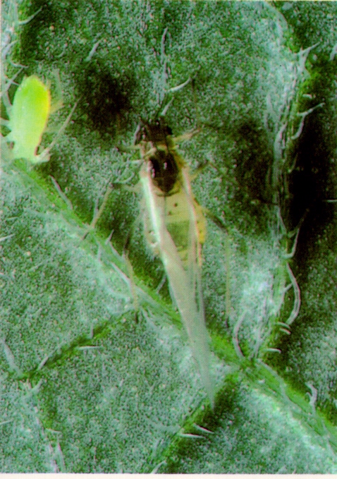 Aphid Alert for July 11-15