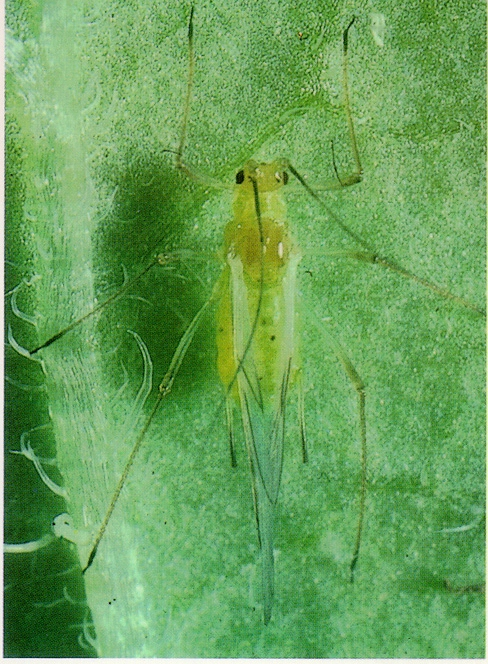 Aphid Alert for Samples Identified up to August 23