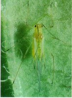 Aphid Alert, July 11