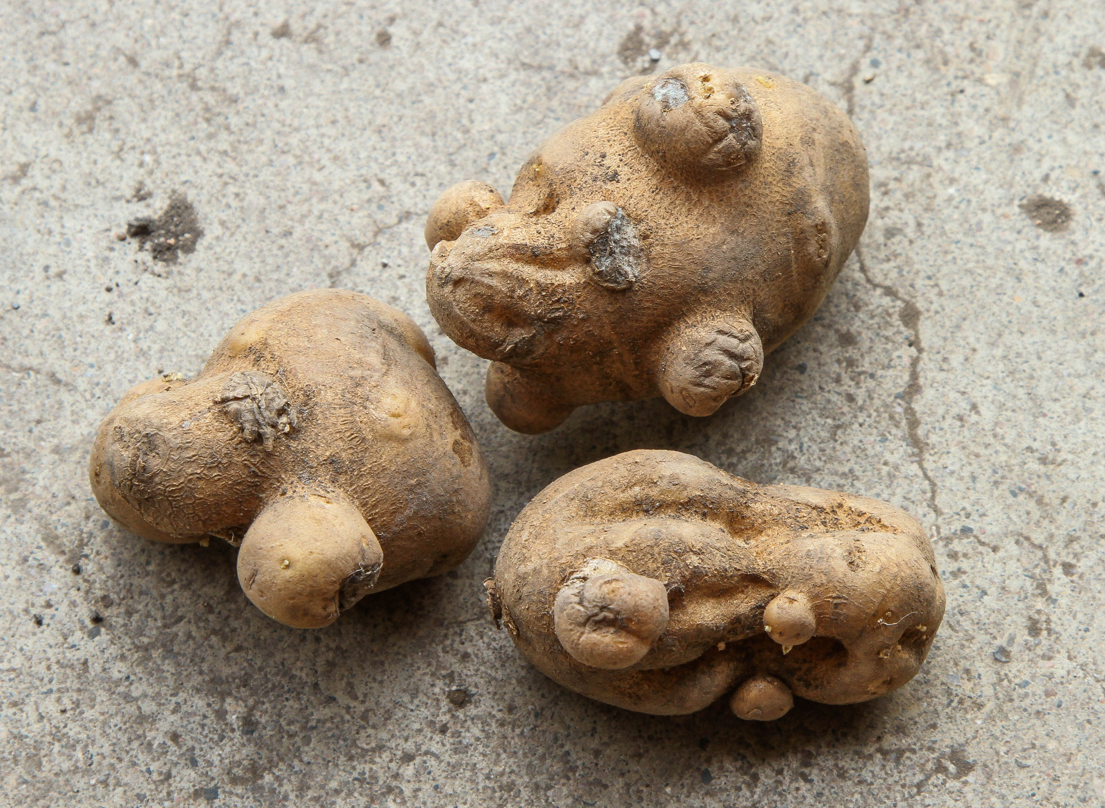 Avoiding Herbicide Damage in Seed Potatoes