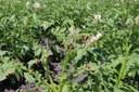 Colorado Potato Beetle Foliar Insecticides