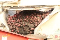 Storing Skinned and Bruised Potatoes