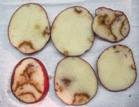 Emergence and Prevalence of Potato Mop Top Virus (PMTV)