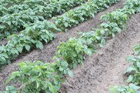 Focus on Potato: Preventing the Spread of Potato Viruses: What Insecticides Can and Cannot Do