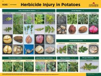 Herbicide Injury in Potato