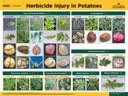 Herbicide Injury in Potato