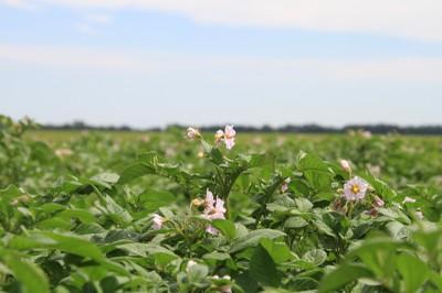 potato field with flower