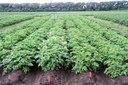Irrigated Cultivar Trial 2015