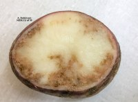 Late Blight in Potato