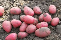 Minnesota 2012 Certified Seed Potato Crop