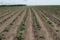 NDSU Potato Blightline for June 10, 2014