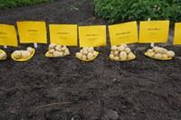NDSU Potato Breeding Program Handout