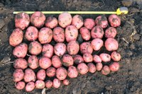 Northern Plains Fresh Market Potato Cultivar/Selection Trial Results for 2016
