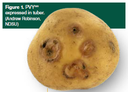Plant Back of Non-Certified Seed Potato Tubers in North Dakota and Minnesota (A1946)