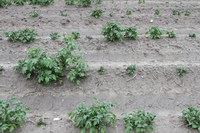 Potato Rotation Restrictions for North Dakota