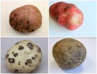 Potato Scout School