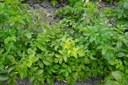 Recognizing herbicide injury in potato
