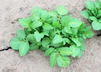 Signs of Metribuzin Damage in Potato