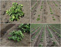 Unbelievable Success Stories of Weed Control in Potatoes: Linex + Metribuzin