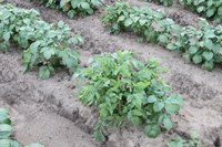 UNECE Guide to Seed Potato Field Inspection: Recommend Practices