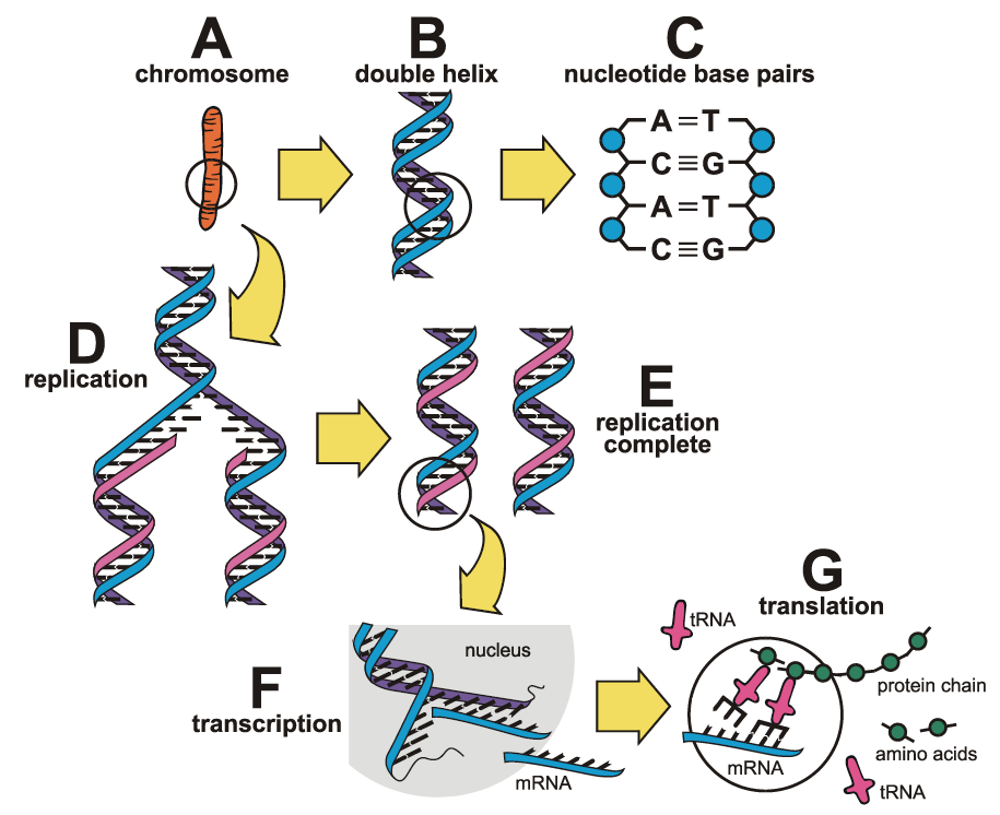 The basic structure of chromosomes and genes.