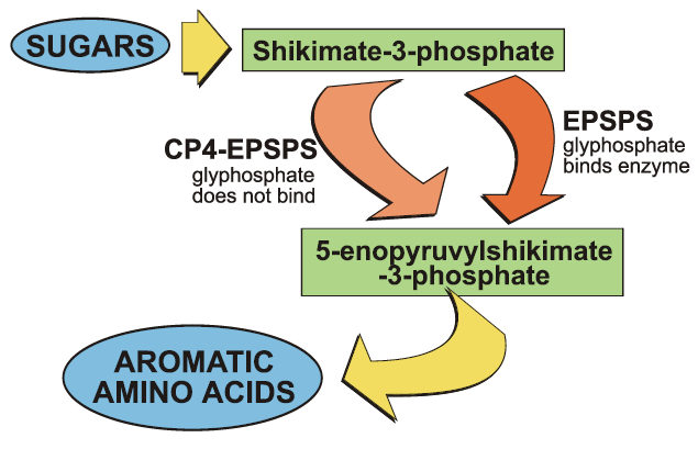 In the Shikimate pathway, lyphosate binds the EPSPS enzyme. Plants with the transgene that codes for CP4-EPSPS function normally because glyphosate does not bind the CP4-EPSPS form.