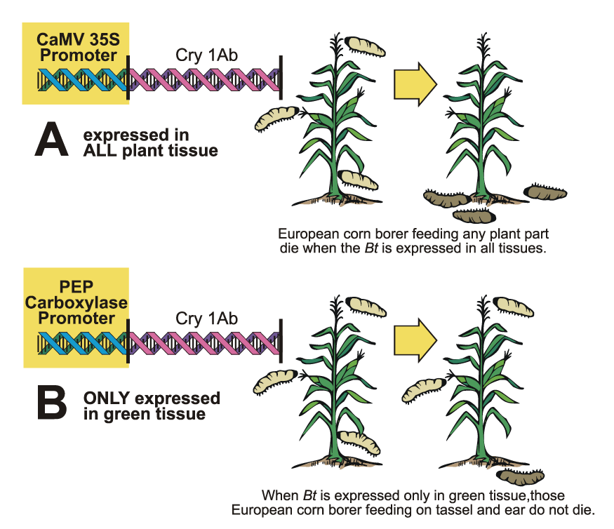 A single Bt gene being expressed differentially in corn based on the promoter.