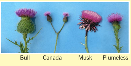 flower examples of common thistles