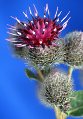 Commmon burdock small
