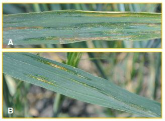 Early symptoms of bacterial leaf streak