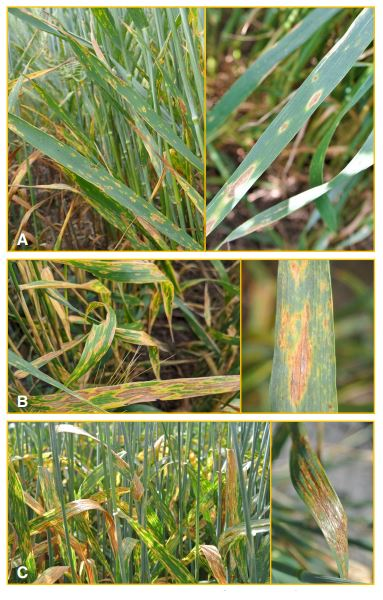 Comparison of wheat foliar disease symptoms