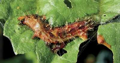Lepidopteran larva infected with nuclear polyhedrosis virus