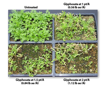 Control with glyphosate