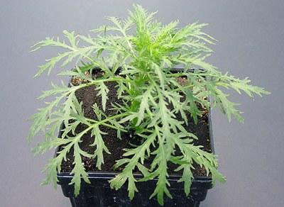 Bolting biennial wormwood plant
