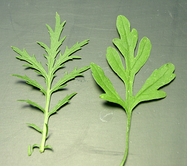 biennial wormwood l(left) ragweed (right)