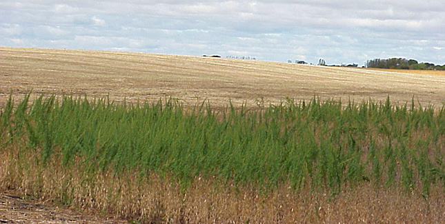 Unharvested soybean field due to wormwood infestation