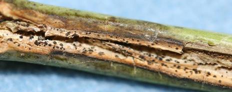Figure 3. Ruptured stems with pycnidia.