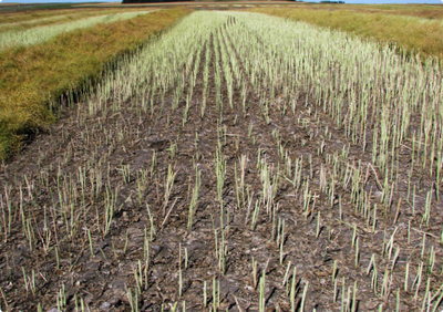 A canola plot after it was harvested showing brown soil with a thin stand of remaining stems.
