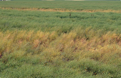 Green field of canola with patches of brown, dying plants that were infected with clubroot.