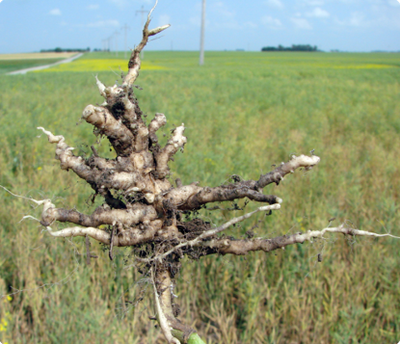 A canola plant pulled from the field with severe galling of the roots.