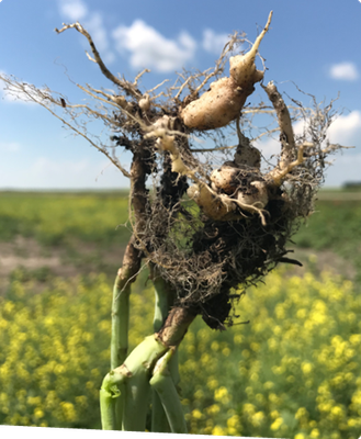 A closeup of the roots of a clubroot-infected canola plant pulled out of the field showing sever galling.