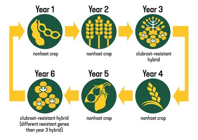 Recommended six-year management strategy for clubroot.