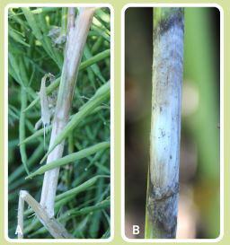 Developing lesion (A) and spread (B) of Sclerotinia stem rot.
