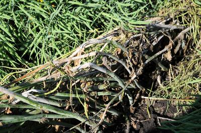 Sclerotinia stem rot damage of canola.