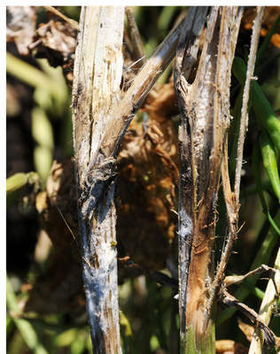 Canola stems with tan lesion beginning to shred and covered with fuzzy white mycelium (mold)