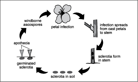 Sclerotinia Disease Cycle Page 84