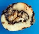 tuber soft rot