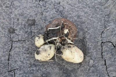 little potato tuber disorder