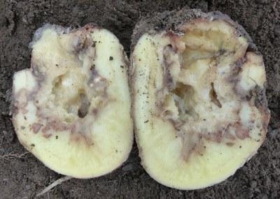 Dickeya in seed tuber