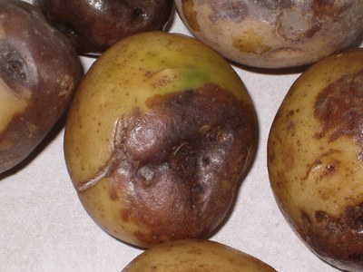 black dot infection in seed tubers